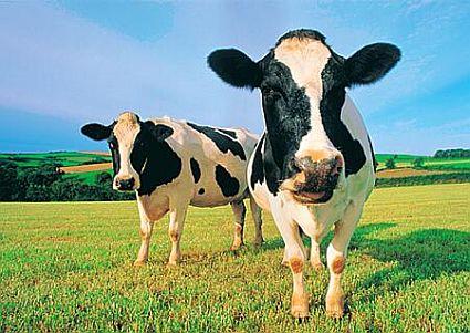 Cows_69